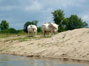 29 mai 12h49-troupeau de vaches
