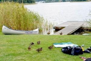 Une famille de canards investi le campement